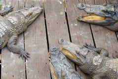 Krokodiler på LakeTonle Sap. Siem Reap. Cambodja. Royaltyfri Fotografi