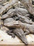 Krokodiler som ligger på cementgolvet med den öppnade nedgången Arkivfoto