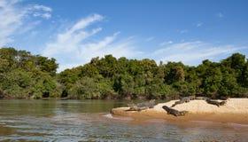Krokodiler som solbadar på kusten av den Cuiaba floden arkivbild
