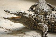 krokodiler två barn Fotografering för Bildbyråer