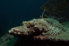 Krokodilfische Lizenzfreie Stockfotografie