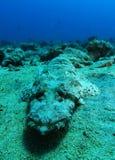 Krokodilfischschlaf über dem Sand lizenzfreies stockbild