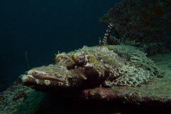 Krokodilfisk Royaltyfri Fotografi