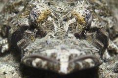 krokodilfisk Royaltyfria Foton