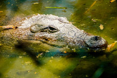 Krokodilframsida Arkivfoton