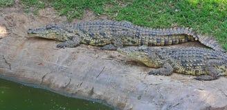 krokodilgreen Royaltyfri Foto
