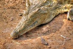 krokodilhdrsavanna Fotografering för Bildbyråer