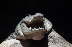 Krokodilhoofd royalty-vrije stock foto's