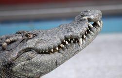 krokodilhuvud Arkivfoton