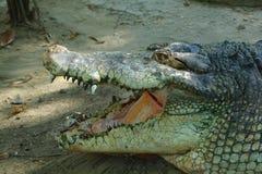 krokodilhuvud fotografering för bildbyråer