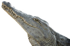 Krokodilhuvud Royaltyfria Foton