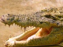 Krokodilhuvud med läskiga tänder arkivbilder