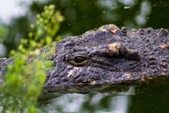 Krokodilhuvud ut ur vattnet royaltyfria foton