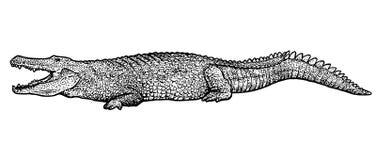 Krokodilillustration, teckning, gravyr, färgpulver, linje konst, vektor Stock Illustrationer