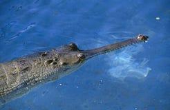 krokodilindier Fotografering för Bildbyråer