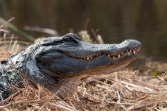 Krokodilith Kopf oben Lizenzfreies Stockfoto