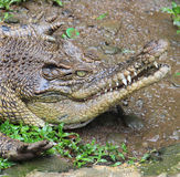 Krokodiljagd in der Tarnung Lizenzfreie Stockbilder