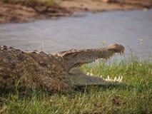 krokodilkäkar öppnar Arkivfoton