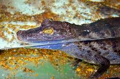 Krokodilkajman Arkivfoton