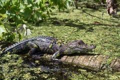 Krokodilkajman i reserven arkivbild