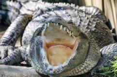 Krokodilkaken Stock Foto's