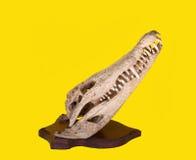 Krokodilknochen Lizenzfreies Stockfoto