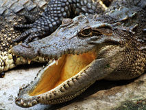 Krokodilkopf Lizenzfreie Stockfotografie