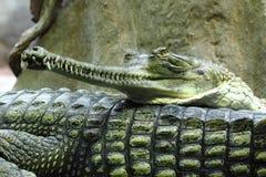 Krokodilkopf lizenzfreie stockbilder