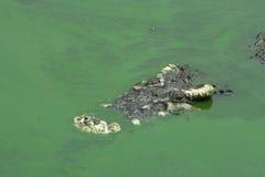 Krokodilkopf im grünen Sumpf Stockfoto
