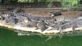 Krokodillögn nära vattnet av grön färg Muddy Swampy River thailand askfat lager videofilmer