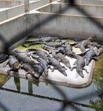krokodillantgård Royaltyfri Fotografi