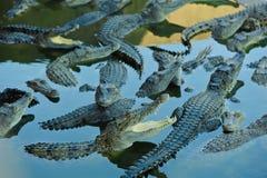 krokodillantgård thailand Royaltyfri Fotografi