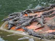 Krokodillantgård, Vietnam arkivfoto