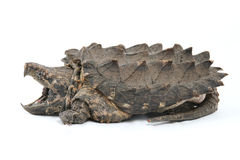 Krokodille Brekende Schildpad Stock Afbeeldingen