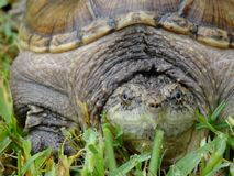 Krokodille Brekende Schildpad Stock Afbeelding