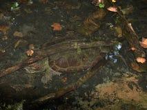 Krokodille Brekende Schildpad Macrochelys Temminckii royalty-vrije stock foto's