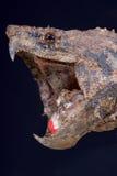 Krokodille brekende schildpad/Macrochelys-temminckii royalty-vrije stock foto's