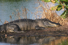 Krokodille Florida Everglades Stock Afbeelding