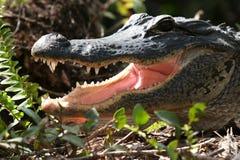 Krokodille Glimlach Stock Afbeelding