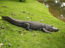 Krokodille glimlach Stock Afbeeldingen
