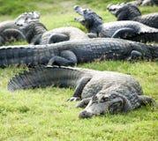 Krokodille groep royalty-vrije stock afbeelding