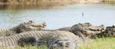 Krokodille groep stock afbeeldingen