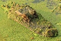 Krokodille hoofd stock foto's