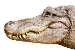 Krokodille hoofd dat op wit wordt geïsoleerdm Royalty-vrije Stock Foto's