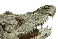 Krokodille mond Stock Foto
