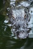 Krokodille Porrend hoofd uit het water om één of andere zon te krijgen Royalty-vrije Stock Fotografie