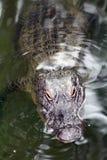 Krokodille Porrend hoofd uit het water om één of andere zon te krijgen Stock Fotografie