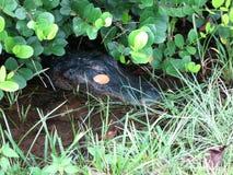 Krokodille 's-hoofd Stock Foto
