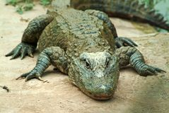 Krokodille sinensis stock fotografie
