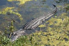 Krokodille Slaap Stock Foto's